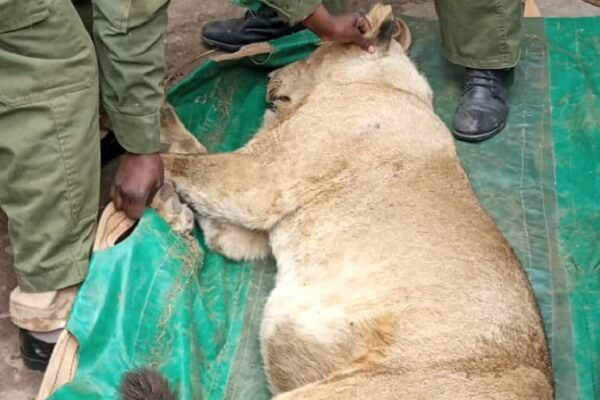KWS transfer sub-adult lion spotted in Ongata Rongai