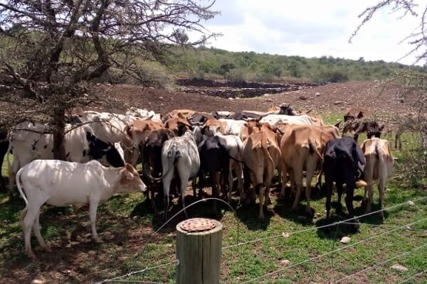 A herd of 58 heads of cattle impounded in Laikipia